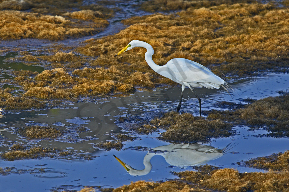 Egret reflection