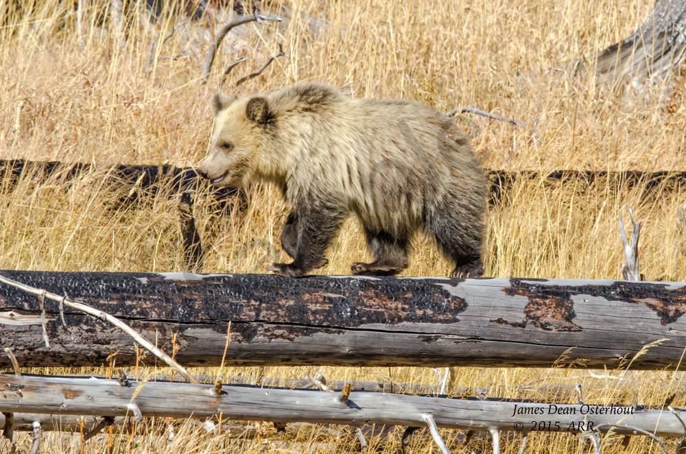 grizzly,cub,bear