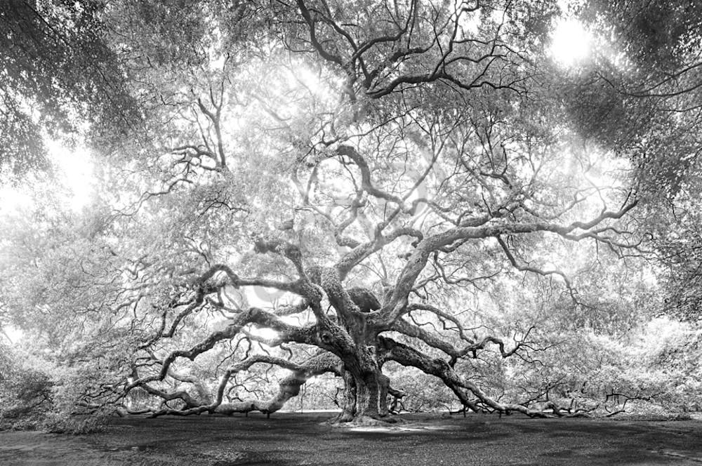 5067 Angel Oak Art | Cunningham Gallery