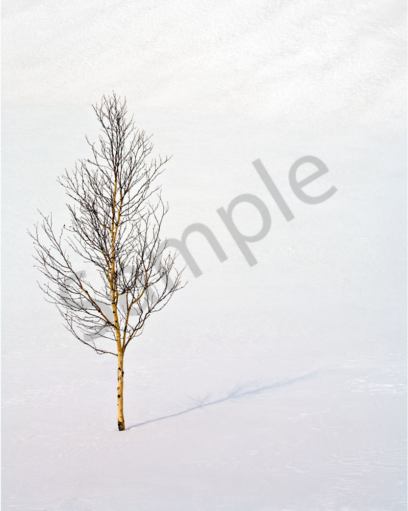 Siberia Birch Photography Art | Scott Cordner Photography