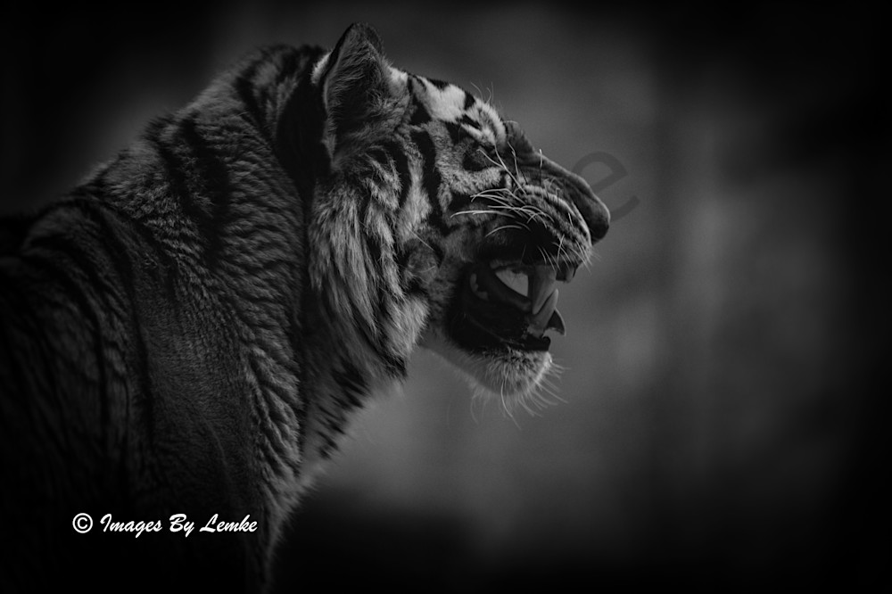 Amur Tiger Tasting The Air