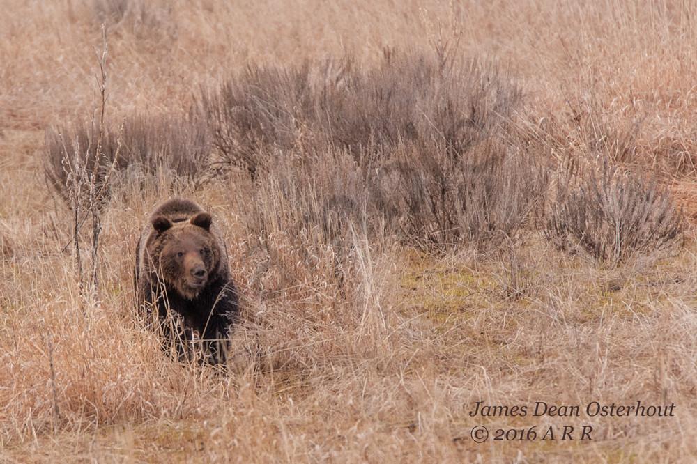 subadult, grizzly 610, grand teton national park, eagletts
