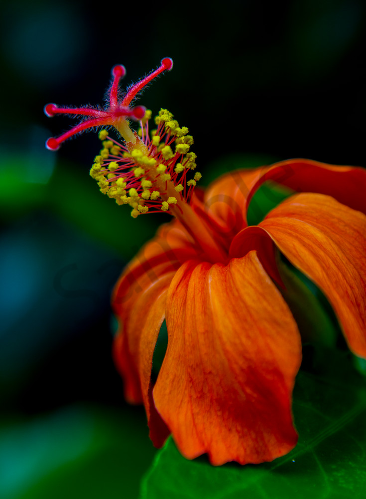 Hawaii Florals | Orange Hibiscus by William Weaver