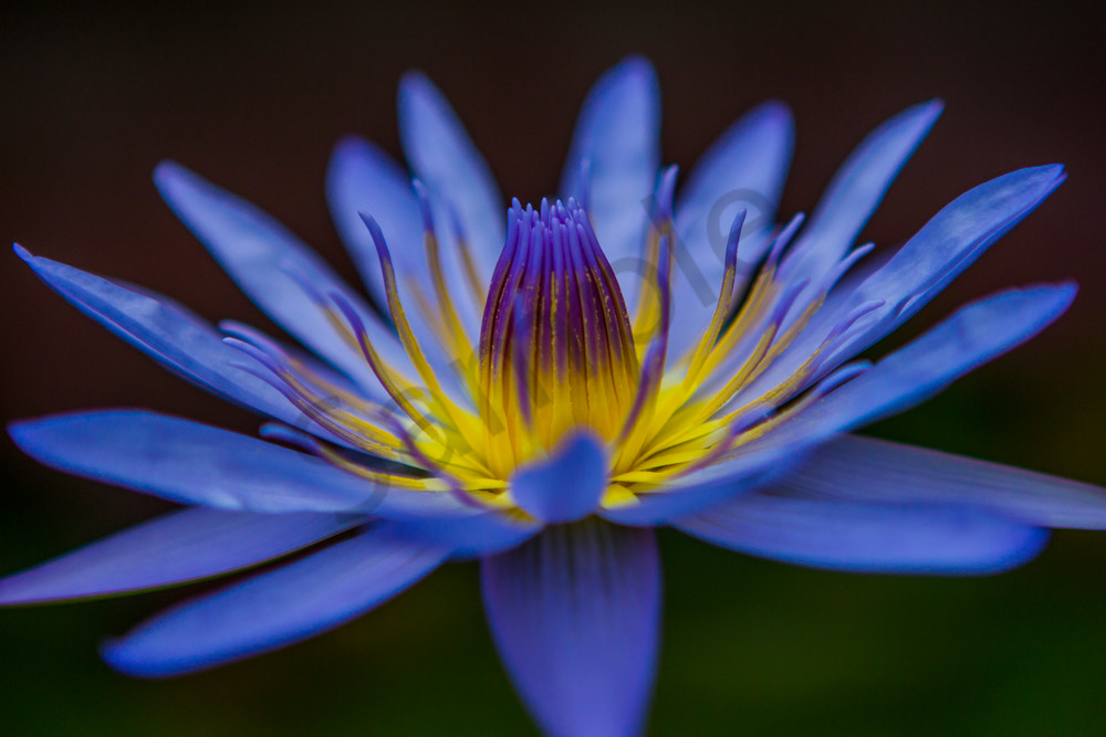 Hawaii Florals | Water Lily 2 by William Weaver