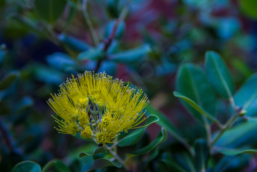 Hawaii Florals | Yellow Ohia by William Weaver