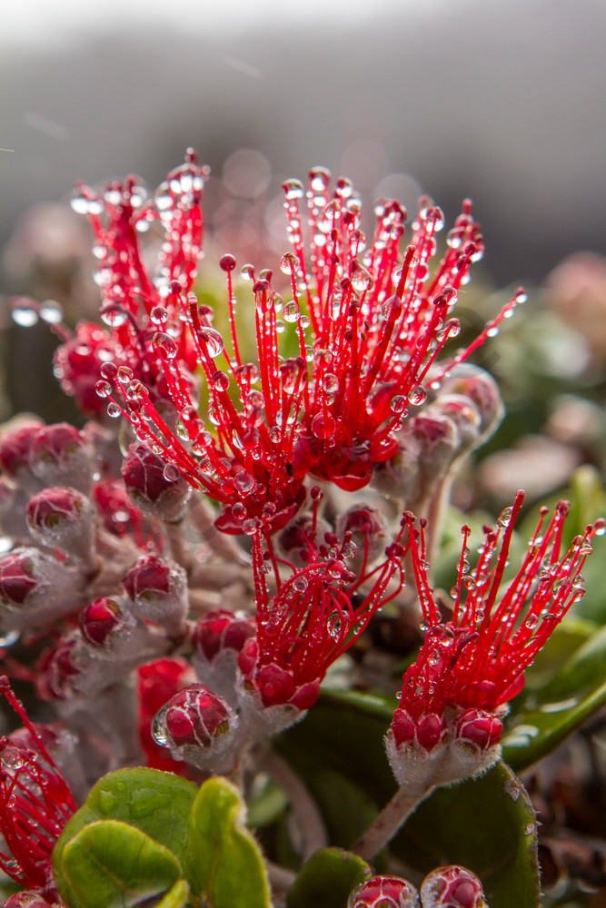 Hawaii Florals | Ohia in the Rain by William Weaver