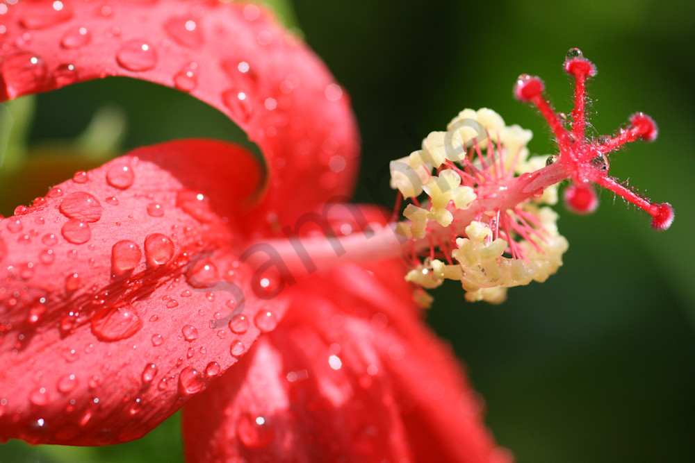 Hawaii Florals | Hibiscus Raindrops by William Weaver