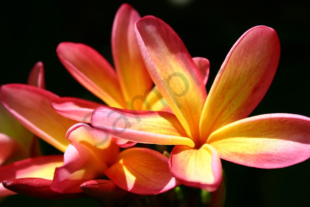 Hawaii Florals | Sunlit Plumerias by William Weaver