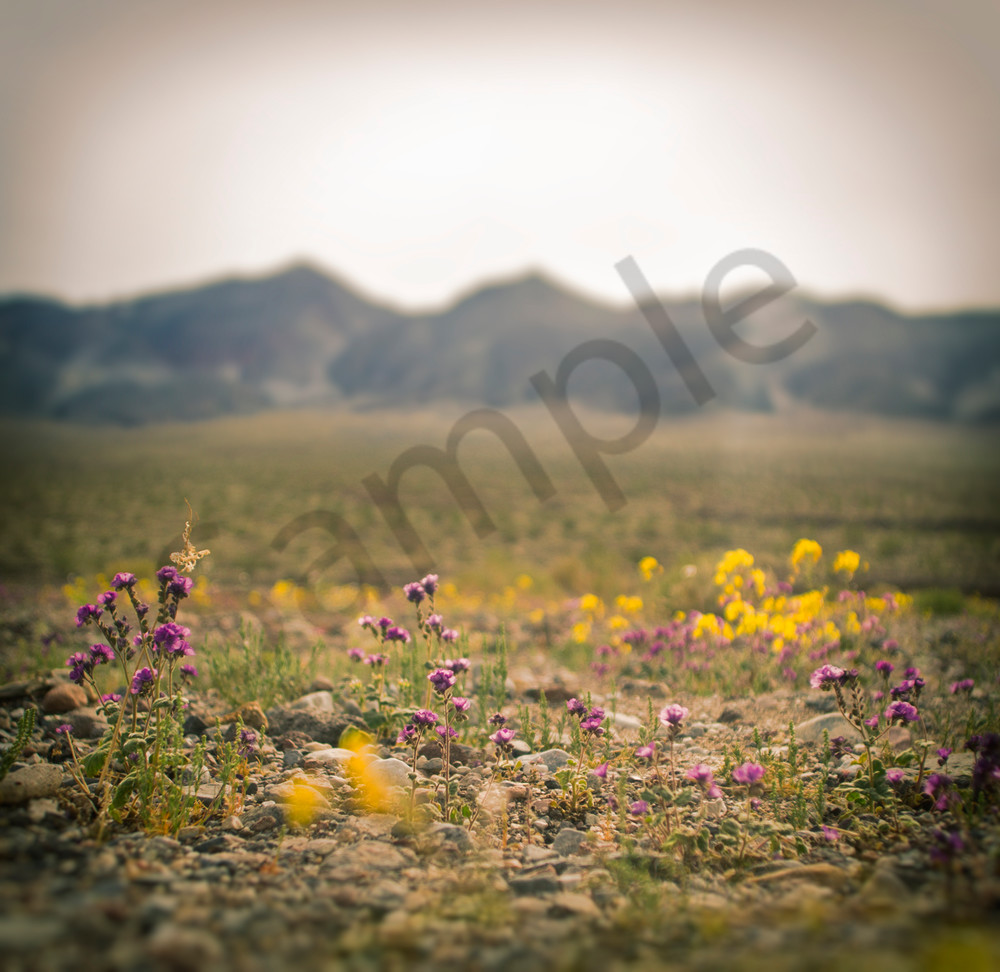 Death Valley Super Bloom Wildflowers 2