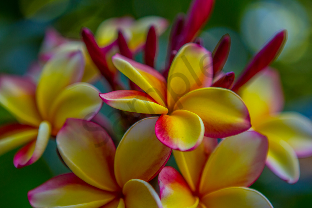 Hawaii Florals | Vibrant Plumeria Cluster by William Weaver