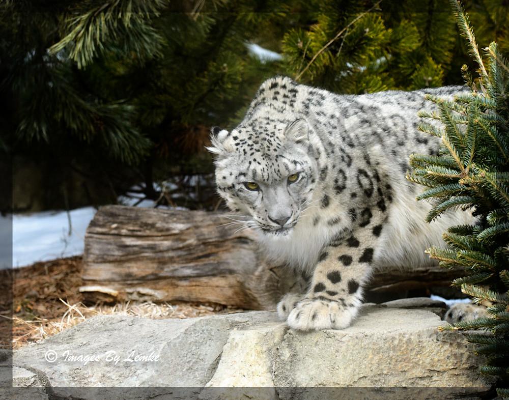 Asa, Snow Leopard Stare Down