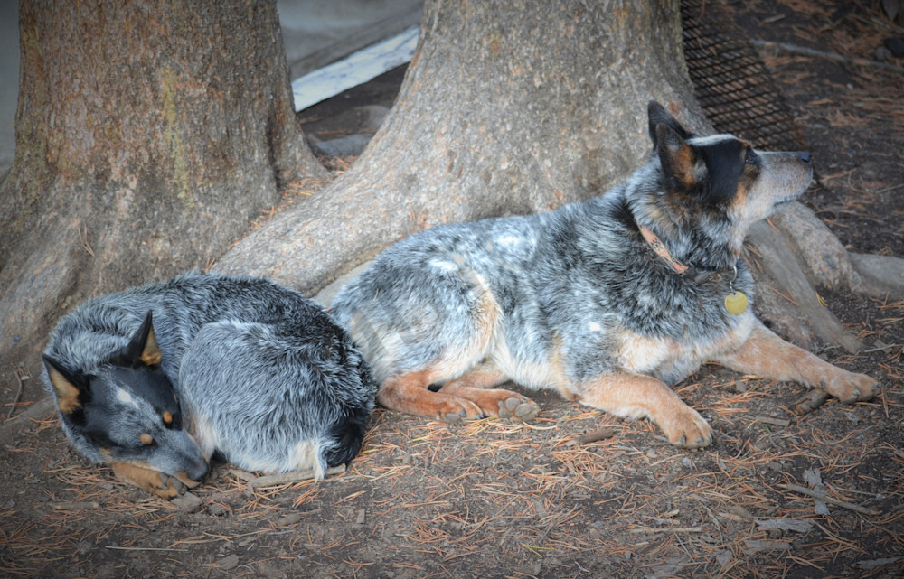 Blue Heelers For Sale : Photograph of two blue heeler dogs in hunting camp for sale as