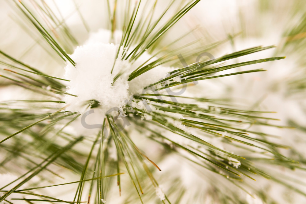 Pine Tree Wall Art: Snowburst