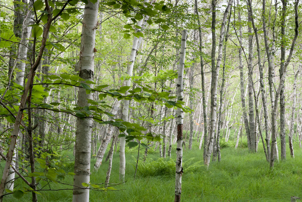 Tree Wall Art: White Birch Forest