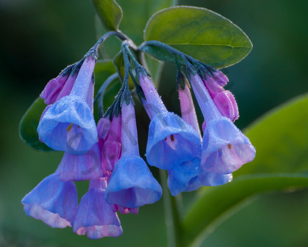 Flower Wall Art: Virginia Bluebells