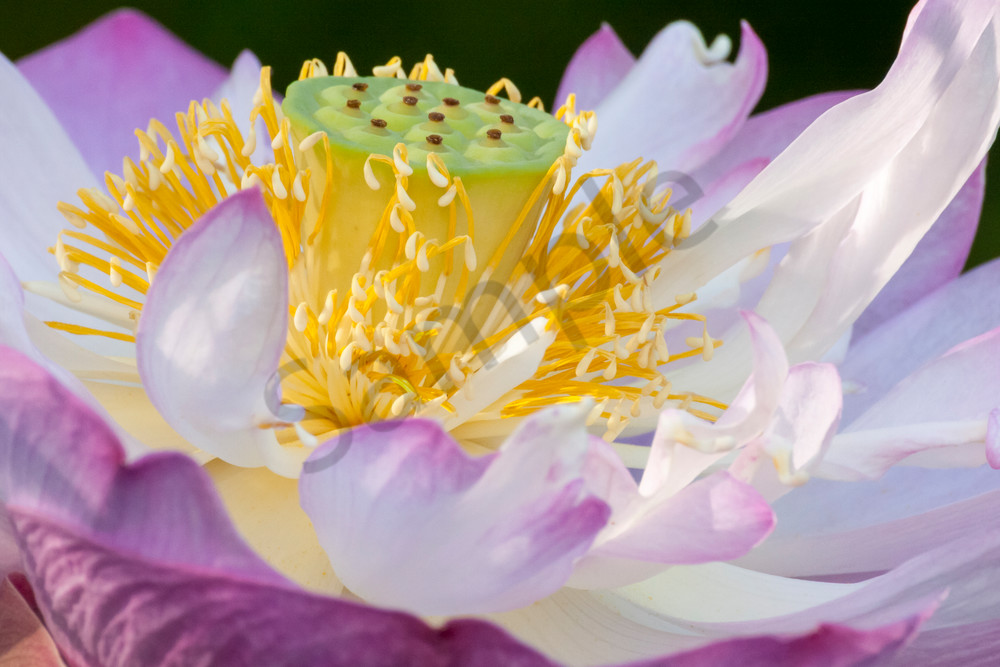 Flower Wall Art: Ballet of the Lotus