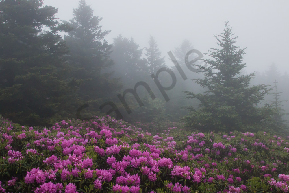 Rhododendrons in the Fog