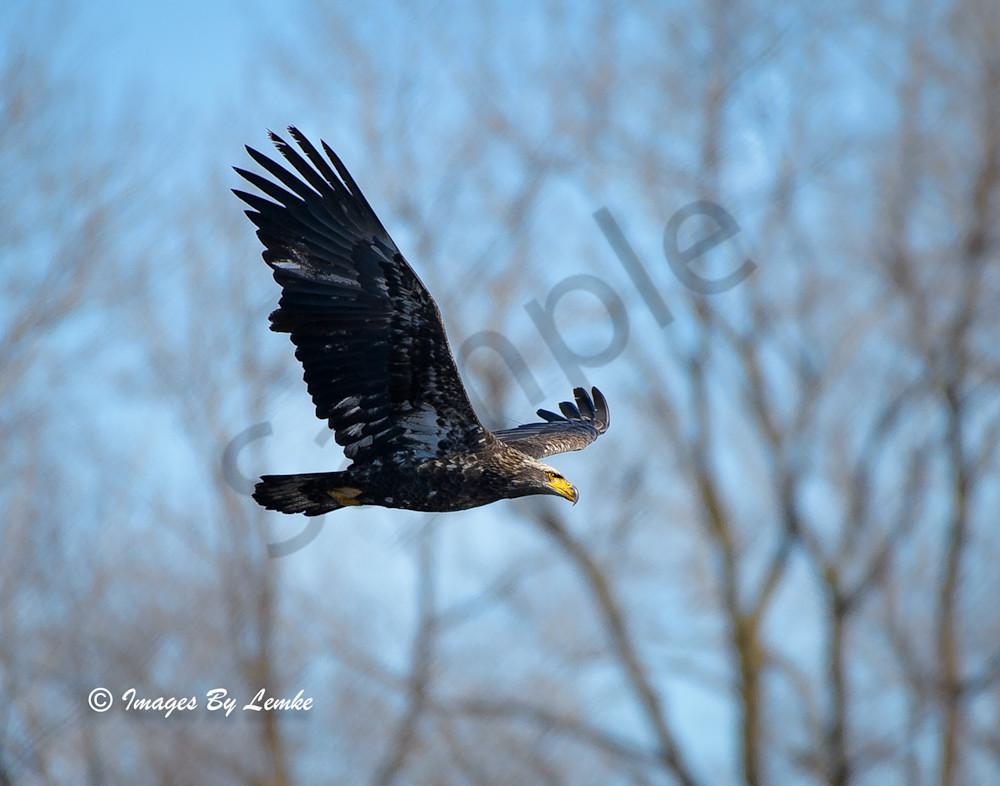 Young Bald Eagle Surveying its domain