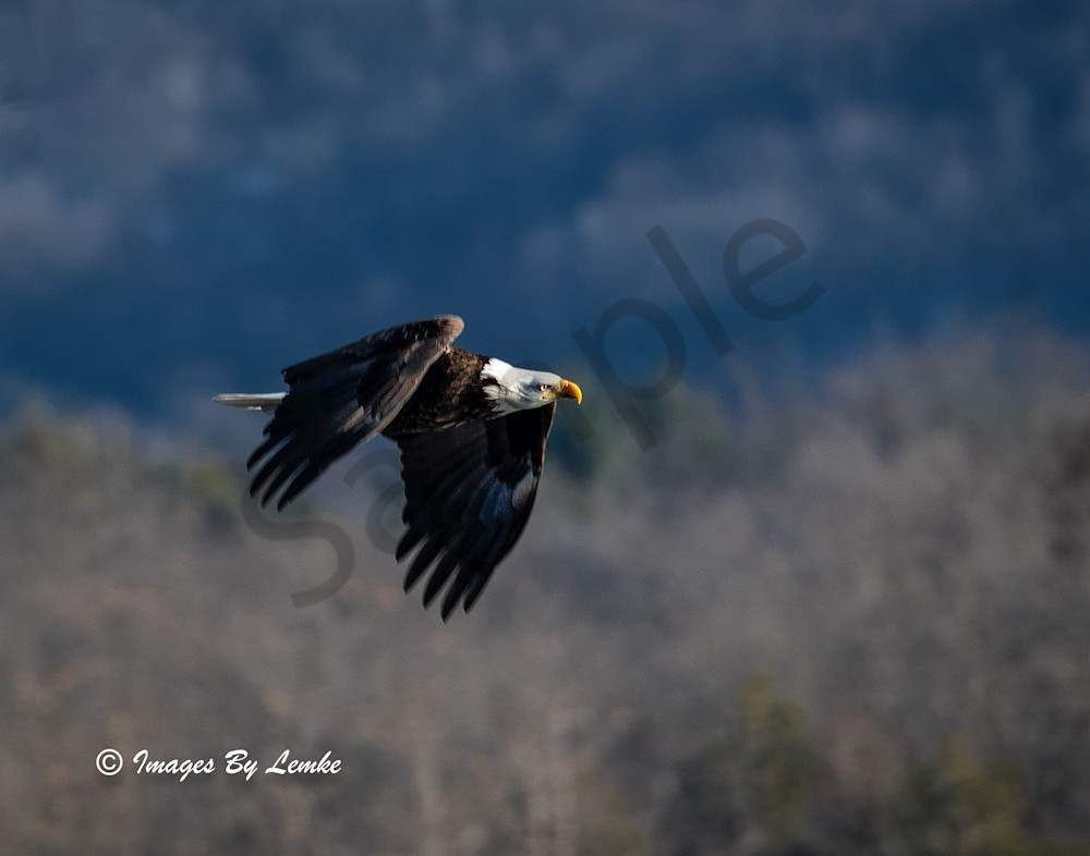 Eagle flying down the Wisconsin