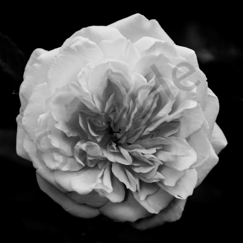 Alchymist Rose Nature Photo Wall Art by Nature Photographer Melissa Fague