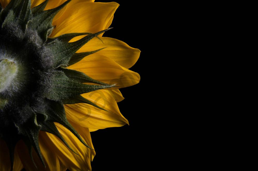 Backside of Sunflower Nature Photo Wall Art by Nature Photographer Melissa Fague