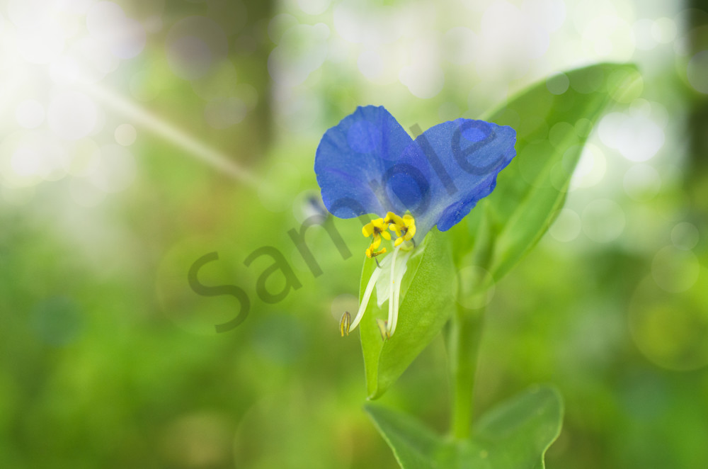 Asiatic Dayflower Nature Photo Wall Art by Nature Photographer Melissa Fague