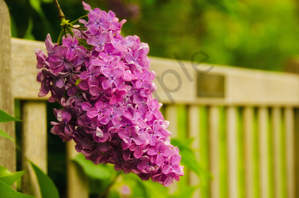 Bench with Lilac Nature Photo Wall Art by Nature Photographer ...