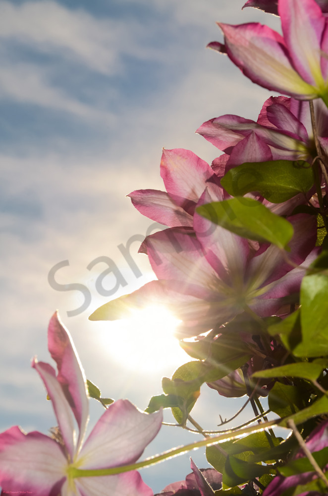Towering Clematis Nature Photo Wall Art by Nature Photographer Melissa Fague