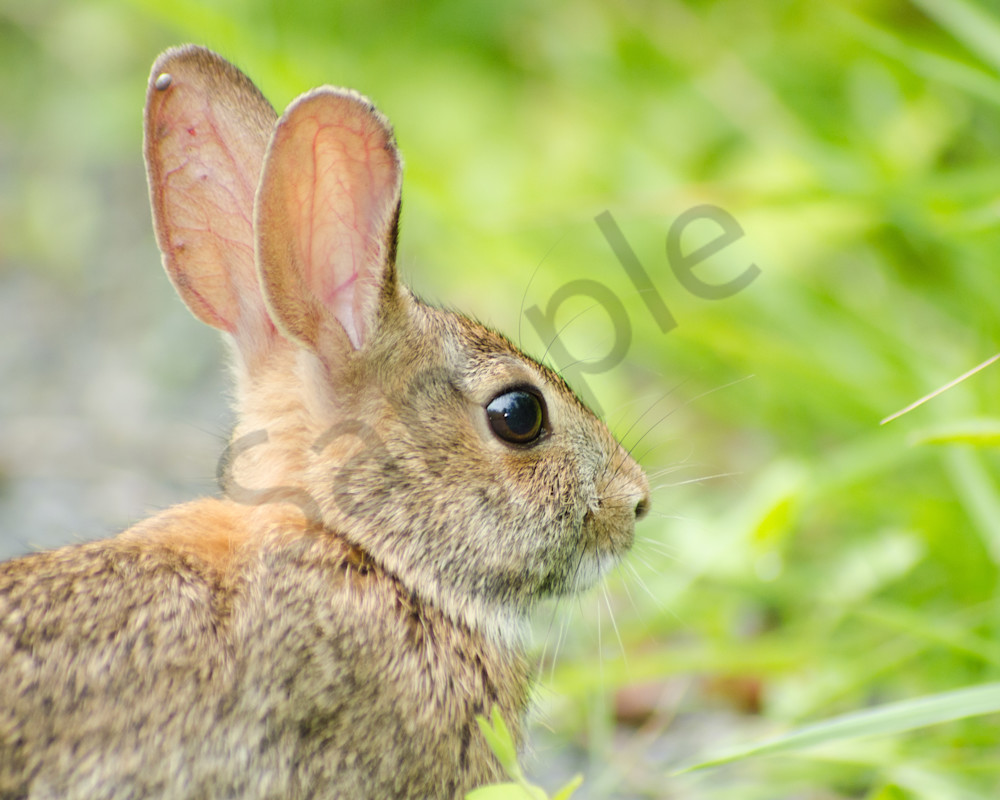 Bunny at Bombay Hook Wildlife Photo Wall Art by Nature Photographer Melissa Fague