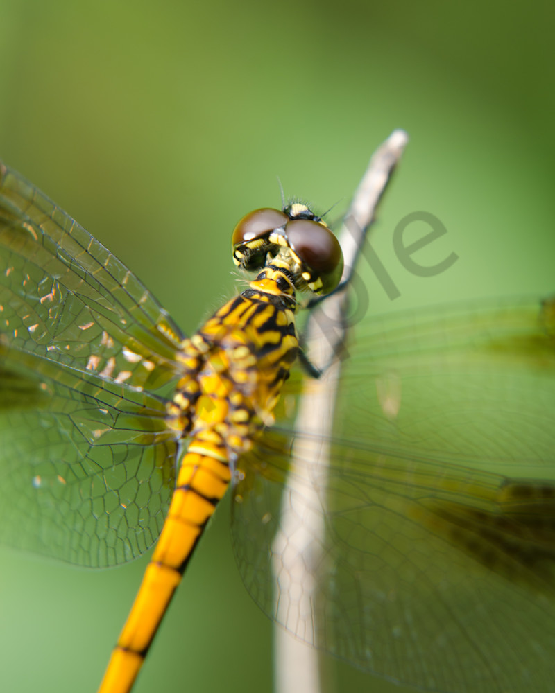 Dragonfly at Bombay Hook Wildlife Photo Wall Art by Nature Photographer Melissa Fague