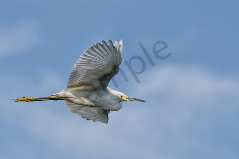 Egret in Flight Wildlife Photo Wall Art by Nature Photographer Melissa Fague