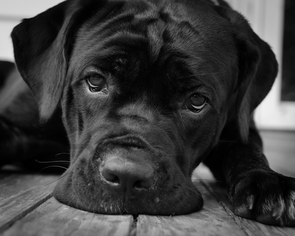 Gurdy on Porch Black and White Dog Photo Wall Art by Nature Photographer Melissa Fague