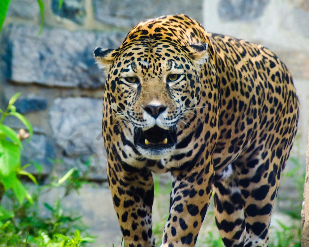 Leopard Wildlife Photo Wall Art by Nature Photographer Melissa Fague