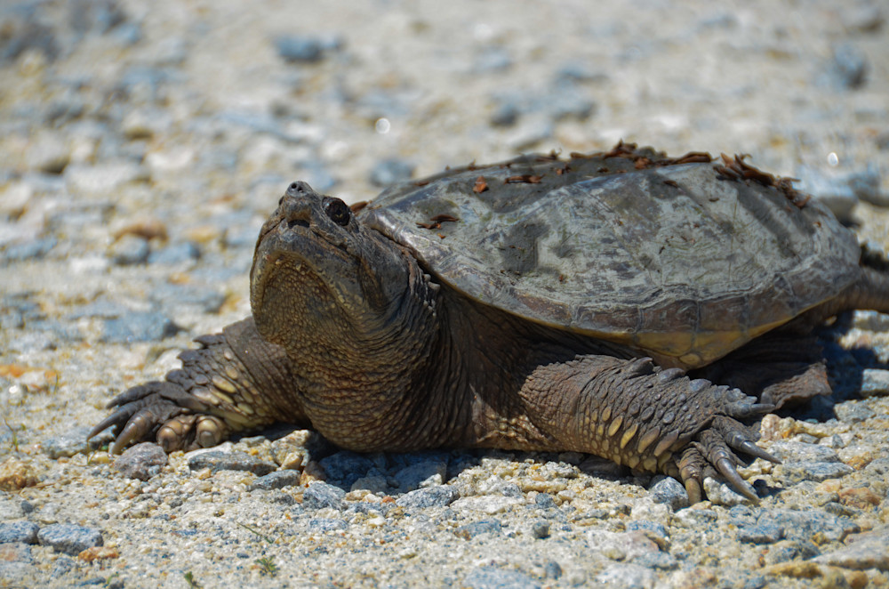 Snapping Turtle Wildlife Photo Wall Art by Nature Photographer Melissa Fague