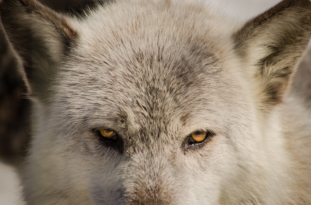 Wolf Eyes Wildlife Photo Wall Art by Nature Photographer Melissa Fague