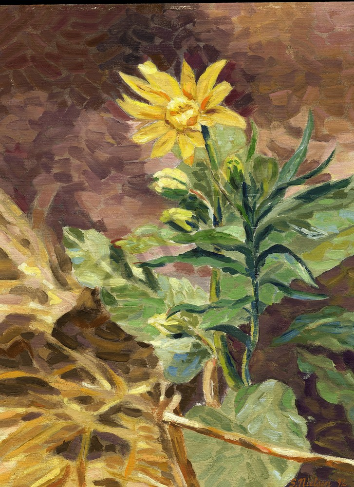 Heart Leafed Arnica - Sherry Nielsen - Smithers BC