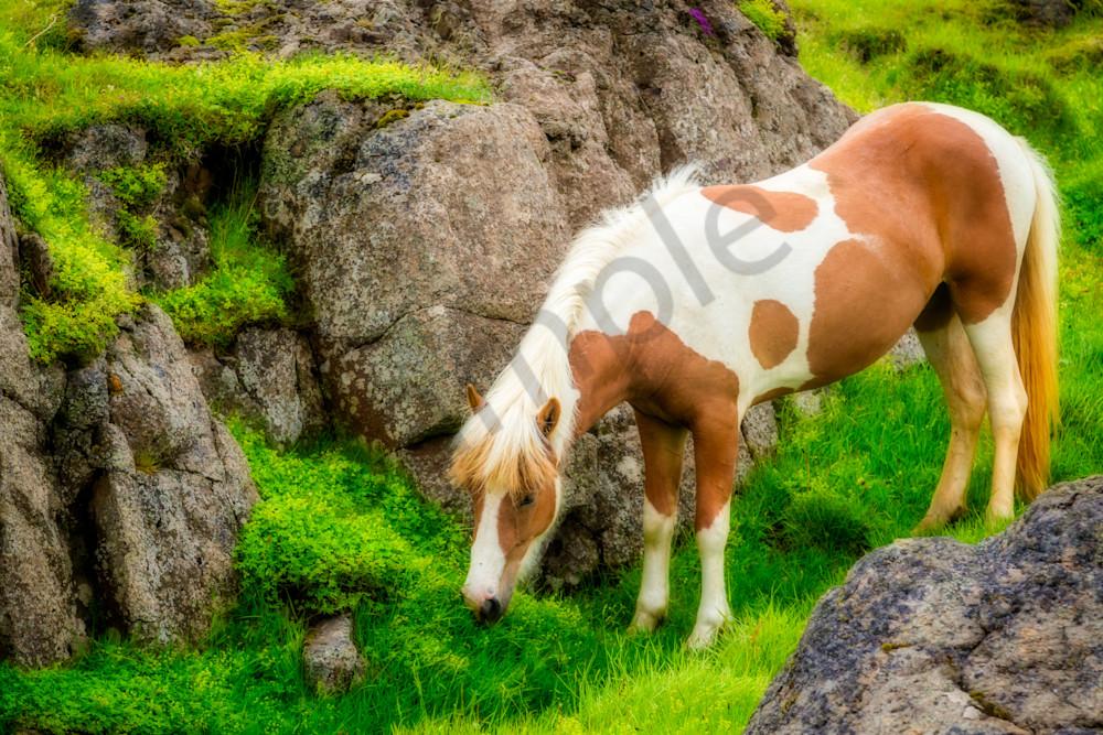 Icelandic Horse, North Iceland