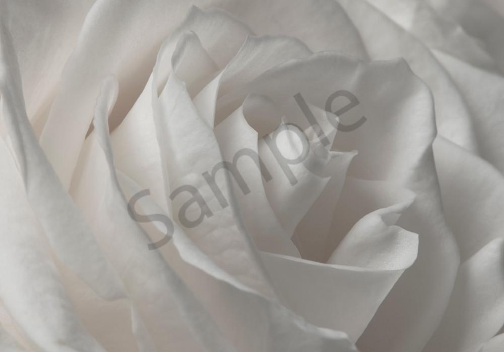 White Rose Photograph