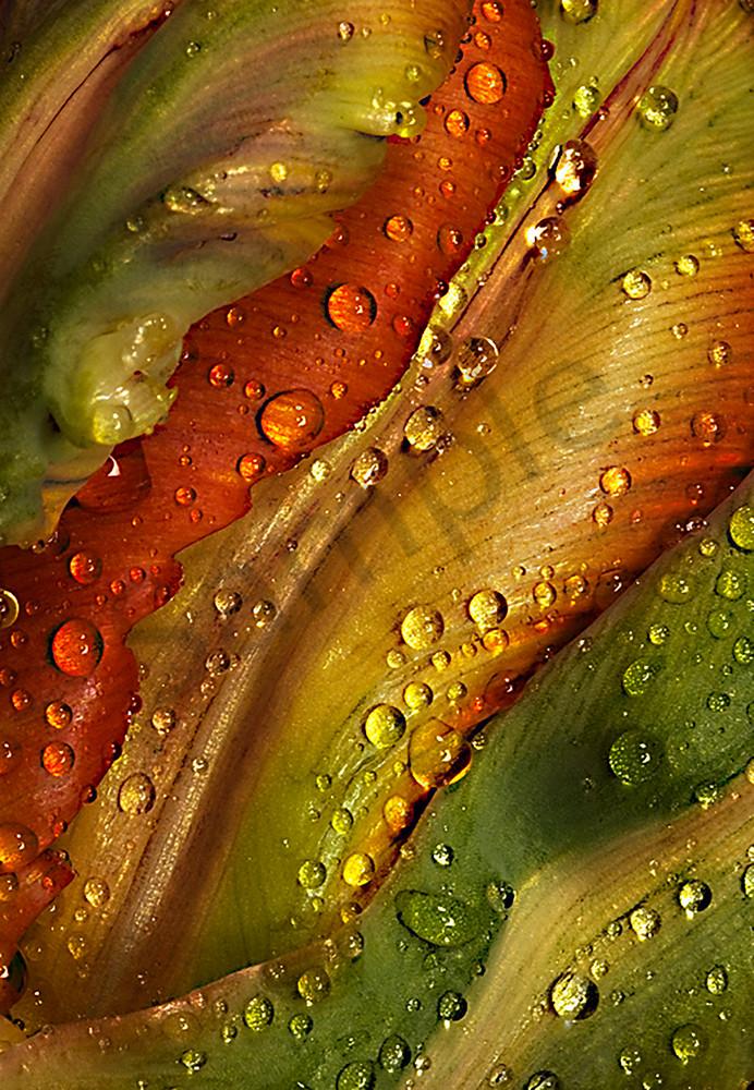 Orange-Favourite-Parrot-Tulip