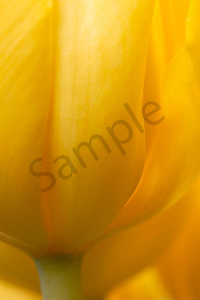 Tulip-Kikomachi