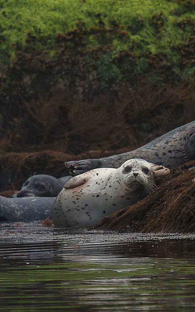White seal pup on the rocks   Robert VandenDool   Artistically Wild