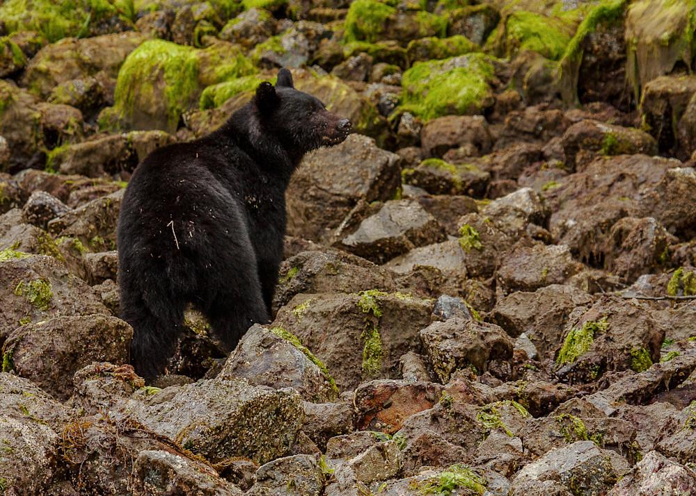 Black bear pictures | Robert VandenDool | Canadian Wildlife Photographer