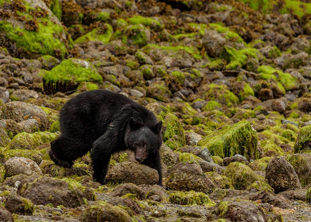 Black Bear Photograph | Robert VandenDool | Artistically Wild