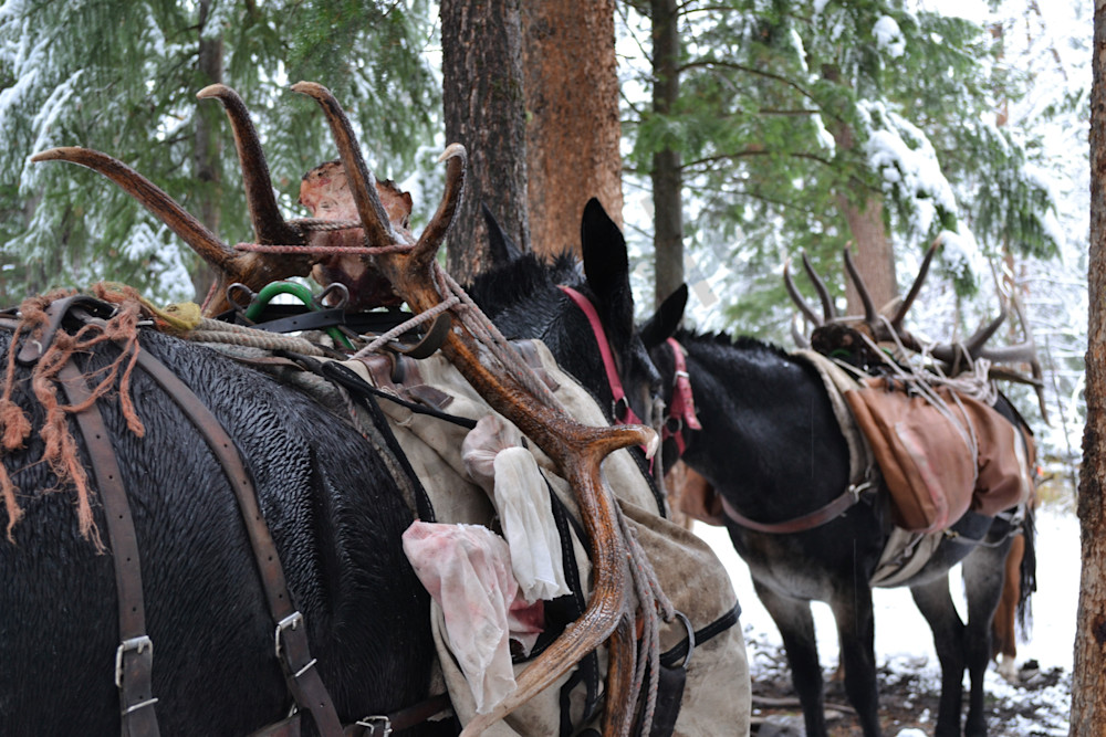 Photograph of two mules packed with elk horns for sale as Fine Art