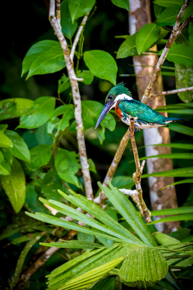 King Fisher bird in Costa Rica.