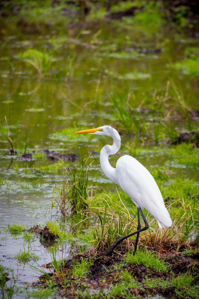 White Egret in a marsh in Costa Rica.