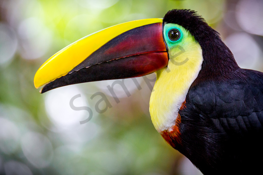 Toucan in Costa Rica poses for a fine art photograph.