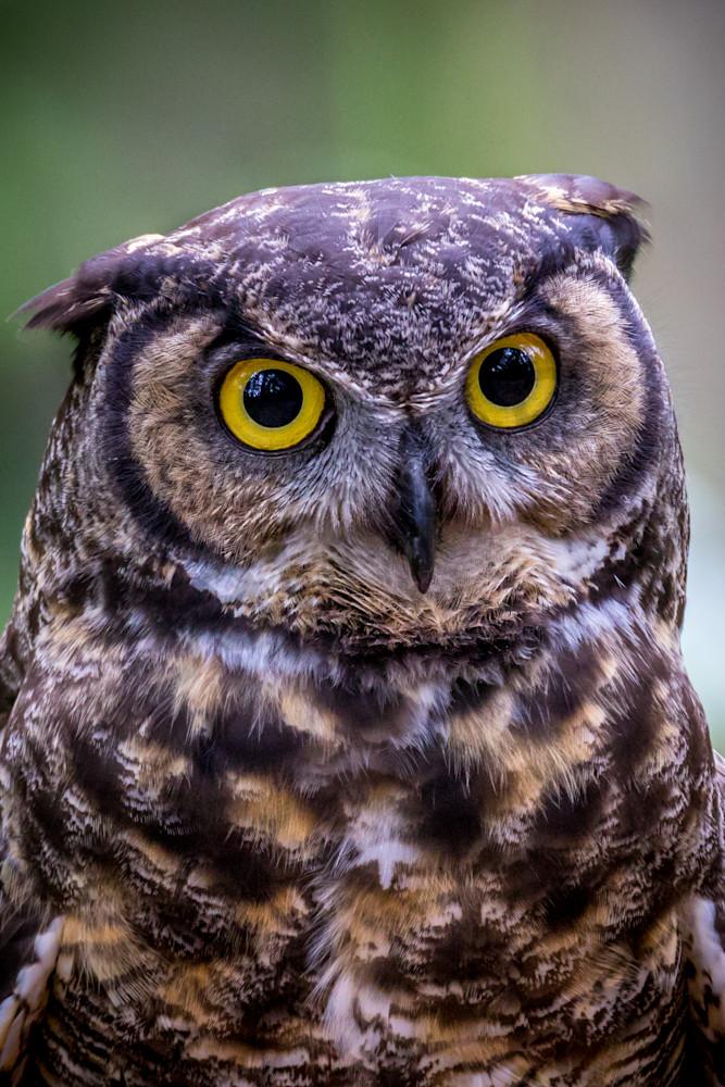 Horned Owl, Raptor Center, Oregon