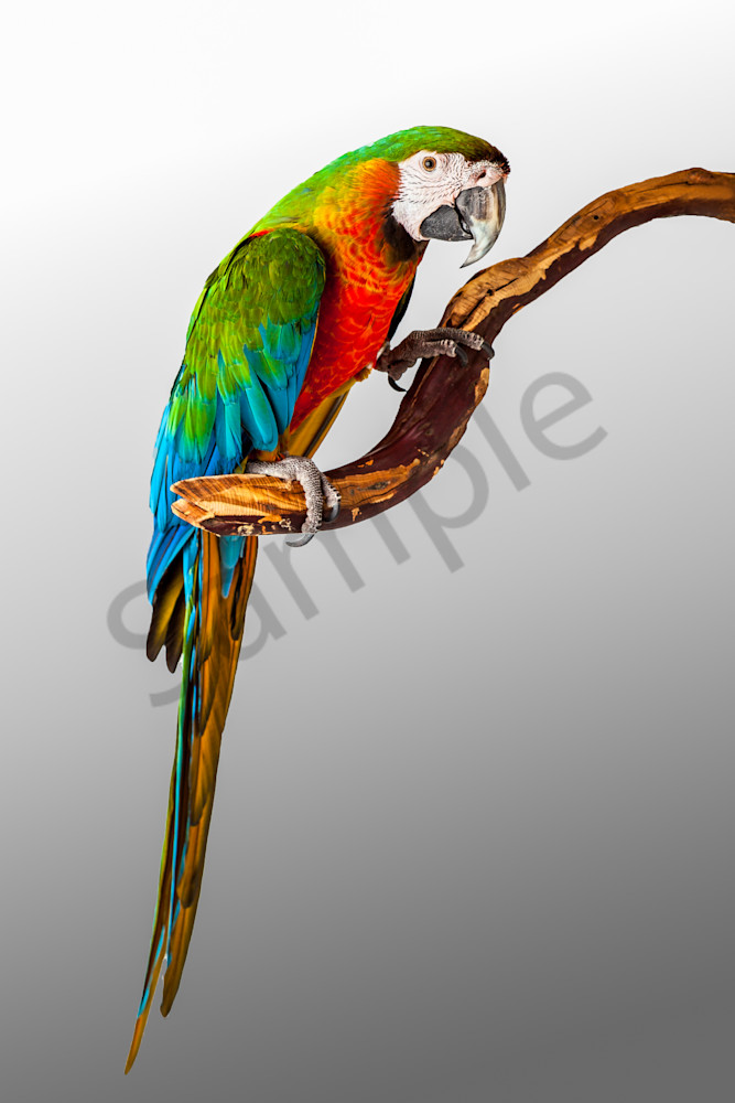 Macaw Parrot 0007 Photography Art   Curtis Peters Photography
