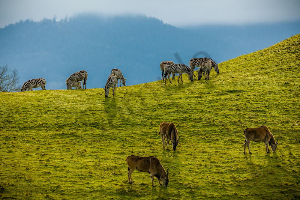 Grazing Zebra and Gazelle : Winston Wildlife Safari, Oregon - By Curt Peters